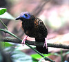 "Ocellated Antbird <div id=""caption_tourlink"" align=""right""> [photo © participant Anthony Collerton]</div>"