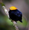 "Golden-headed Manakin <div id=""caption_tourlink"" align=""right""> [photo © guide John Rowlett]</div>"