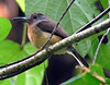 """Gray-cheeked Nunlet <div id=""""caption_tourlink"""" align=""""right""""> [photo © participant Anthony Collerton]</div>"""