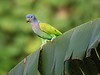 "Blue-headed Parrot <div id=""caption_tourlink"" align=""right""> [photo © participant Anthony Collerton]</div>"