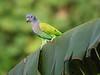 "Blue-headed Parrot <div id=""caption_tourlink"" align=""right""> [photo © participant Anthony Collerton]</div>"