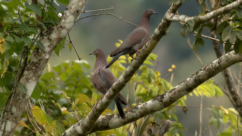 Another simple yet elegant species, Plain Pigeon, which occurs in the Greater Antilles but was almost extirpated from Puerto Rico. A conservation program has helped its recovery. (Photo by guide Tom Johnson)