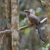 One very cool group of Caribbean birds is the large lizard-cuckoos, and Puerto Rico has its endemic species. (Photo by guide Eric Hynes)