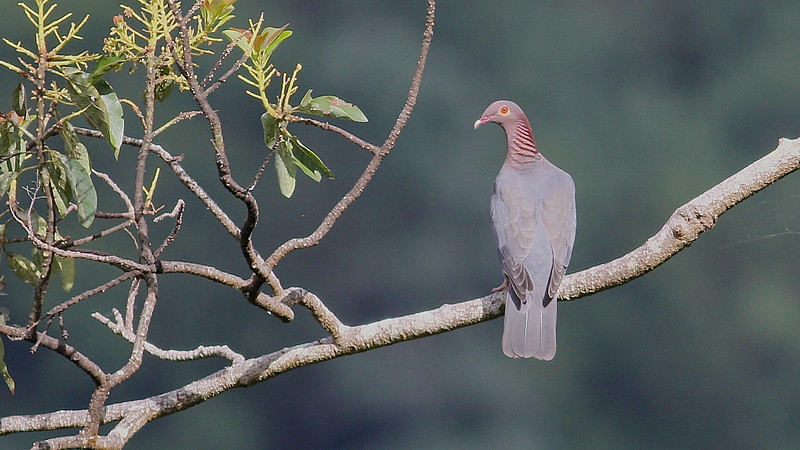 And here's the atply named Scaly-naped Pigeon, widespread in the Antilles. (Photo by guide Eric Hynes)