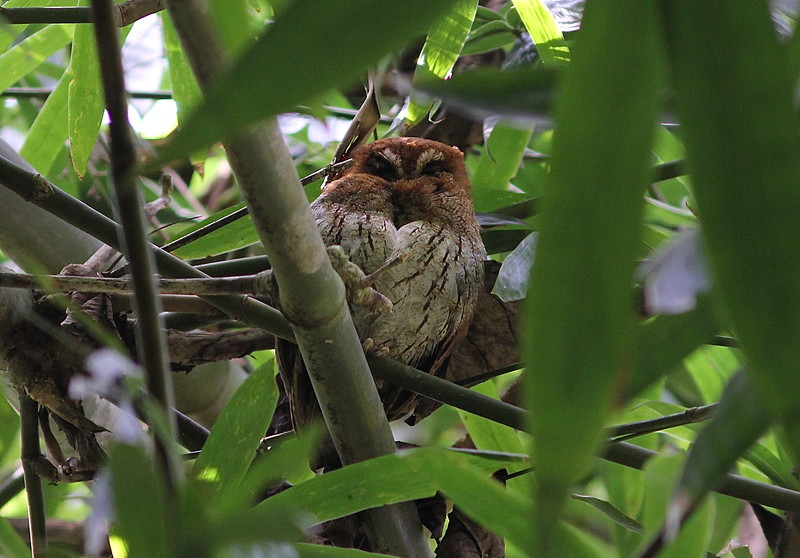 "One ""nightbirding"" prize is the Puerto Rican Screech-Owl, a species perhaps not all that closely related to mainland screech-owls -- this one was on a dayroost! (Photo by guide Eric Hynes)"