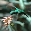 There are a few special hummingbirds in the Caribbean, some with clear relatives on the mainland, and others whose relationships are not so clear. The Puerto Rican Emerald is in the first group. (Photo by participant  Daphne Gemmill)