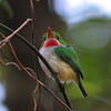 There are a couple of endemic families in the Caribbean, and perhaps the most endearing is the todies, restricted to the larger Caribbean Islands. The Puerto Rican Tody is a stunner! (Photo by guide Eric Hynes)