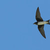 Caribbean Martin is one of numerous species we see on the tour that are not restricted to Puerto Rico but are have limited ranges in the islands from the Bahamas to Tobago. (Photo by guide Doug Gochfeld)