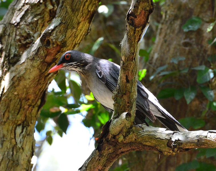Red-legged Thrush is widespread and fairly common on Puerto Rico but usually reclusive. Here's a bolder individual giving us a fantastic view! (Photo by participant Brian Stech)