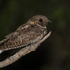 Another nocturnal prize -- Puerto Rican Nightjar. (Photo by guide Tom Johnson)