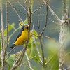 The more widespread Antillean Euphonia, by contrast, is anything but plain! (Photo by guide Tom Johnson)