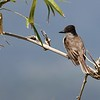 Another Caribbean endemic, restricted to the islands: Loggerhead Kingbird. (Photo by guide Eric Hynes)