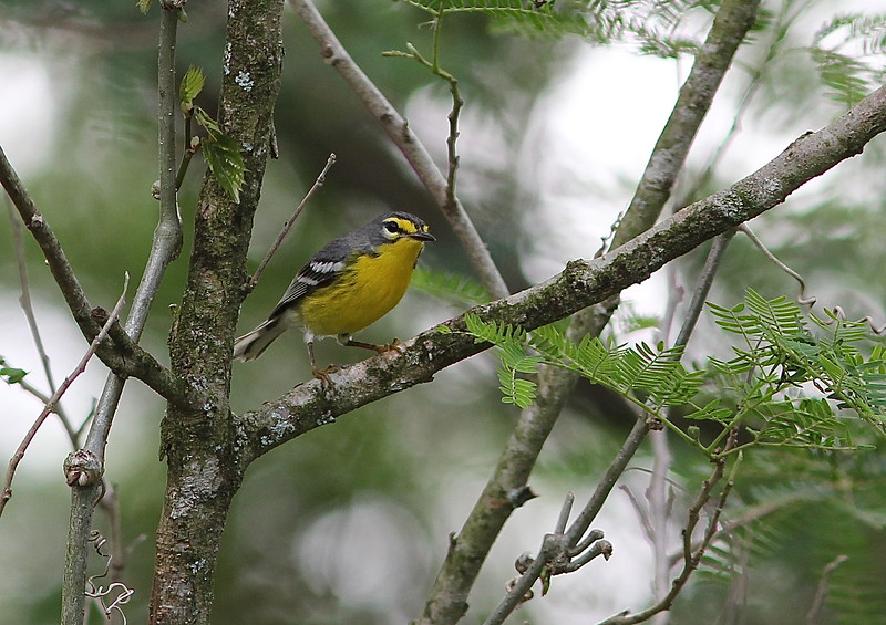 Adelaide's Warbler is a Puerto Rico endemic, and a lovely one at that. To many it recalls a Grace's Warbler. (Photo by guide Eric Hynes)