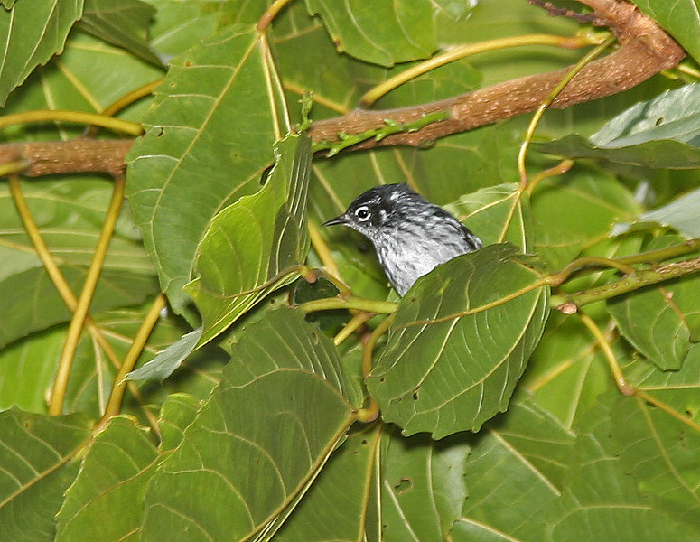 The Elfin Woods Warbler was discovered only in 1968. It's a rather elegant and slim little bird restricted to the highlands. Its close relative is the Plumbeous Warbler of the Lesser Antilles. (Photo by participant Jerry Kumery)