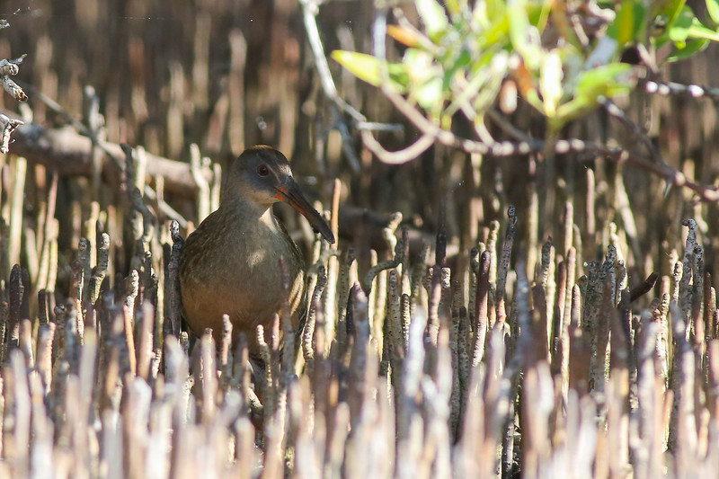 A Clapper Rail foraging among the finger-like air roots of mangroves. (Photo by guide Doug Gochfeld)