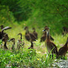 On most tours we are fortunate to see West Indian Whistling-Ducks, which are widespread in the Caribbean but under pressure in much of their range. (Photo by guide Dan Lane)