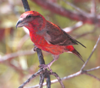 """Recent genetic work has confirmed the existence (as suspected for a long time) of several crossbill species.  This is the Bendire's Red Crossbill. <div id=""""caption_tourlink"""" align=""""right""""> [photo © guide Ned Brinkley]</div>"""