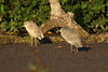 """How often do we get an opportunity like this to compare immature night-heron plumages?  This text book study was made along the mudflats of the San Cristobal River.   <div id=""""caption_tourlink"""" align=""""right""""> [video still © guide Jesse Fagan]</div>"""
