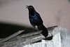 """Just a Great-tailed Grackle (Quiscalus mexicanus)?  Recent phylogenetic work seems to show the western subspecies (including this Mazatlan graysoni) as being significantly different from its eastern counterpart.  Some differences include western subspecies being smaller and females having a paler plumage. <div id=""""caption_tourlink"""" align=""""right""""> [photo © participant Dominic Sherony]</div>"""