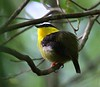 This male Golden-collared Manakin (Manacus vitellinus) was displaying on his lek. The species is quite common on Isla Bastimento, very near our lodge at Tranquilo Bay. (Photo by guide Jesse Fagan)