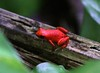 The Strawberry Poison-dart Frog (Oophaga pumilio) comes in many different color morphs. This particular pattern is dominant on Isla Bastimento, Bocas del Toro, Panama. (Photo by guide Jesse Fagan)