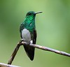 Snowy-bellied Hummingbird is common at Mount Totumas Cloud Forest Reserve. (Photo by guide Jesse Fagan)