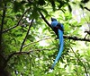 Mount Totumas Cloud Forest Reserve is an excellent place to see Resplendent Quetzal, as evidenced by this fabulous male. (Photo by guide Jesse Fagan)