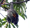 The Brown-throated three-toed Sloth is common on Isla Bastimento. Note the distinctive brown patch on his back.  This one was photographed by guide Jesse Fagan just outside his cabin at Tranquilo Bay.