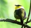 Male Golden-collared Manakin, Bocas del Toro (Photo by guide Jesse Fagan)
