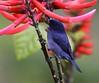 Male Slaty Flowerpiercer, Mount Totumas (Photo by guide Jesse Fagan)