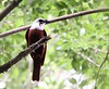 A Three-wattled Bellbird at Mount Totumas Cloud Forest Reserve, Chiriqui, where many males were singing on territory. (Photo by guide Jesse Fagan)