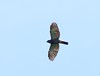 This adult Double-toothed Kite (Harpagus bidentatus) was photographed over Isla Popa in Bocas del Toro. This small forest raptor frequently soars over the canopy and has a distinctive shape in flight, wings pinched at the body with a long tail. The species is fairly common in this region. (Photo by guide Jesse Fagan)