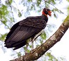 From Bocas del Toro, we will cross the Continental Divide, sampling the foothill and highland forests before dropping down to the Chiriquí Highlands on the Caribbean Slope.  This King Vulture gave some great views at the divide. (Photo by guide Jesse Fagan)