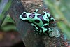 The striking Dendrobates auratus loves the ground litter of old cacao plantations. Guide Jesse Fagan photographed this individual in Bocas del Toro.