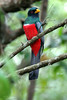 "Black-tailed Trogon <br><div id=""caption_tourlink"" align=""right""> [photo © participant Paul Thomas]</div>"