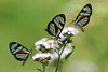 "Clearwings <div id=""caption_tourlink"" align=""right""> [photo © participant Paul Thomas]</div>"