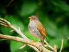 "Orange-billed Nightingale-Thrush <div id=""caption_tourlink"" align=""right""> [photo © guide John Rowlett]</div>"