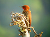 "Cinnamon Woodpecker <div id=""caption_tourlink"" align=""right""> [photo © guide John Rowlett]</div>"