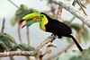 "Keel-billed Toucan <br><div id=""caption_tourlink"" align=""right""> [photo © participant Paul Thomas]</div>"