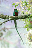 "Resplendent Quetzal <div id=""caption_tourlink"" align=""right""> [photo © participant Paul Thomas]</div>"