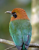 "Broad-billed Motmot <br><div id=""caption_tourlink"" align=""right""> [photo © guide John Rowlett]</div>"