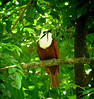 "Three-wattled Bellbird <div id=""caption_tourlink"" align=""right""> [photo © guide John Rowlett]</div>"
