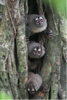 "Night Monkeys <div id=""caption_tourlink"" align=""right""> [photo © guide George Armistead]</div>"