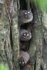 "Night Monkeys <div id=""caption_tourlink"" align=""right""> [photo © guide George Armistead]</div>"