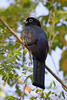 Black-headed Trogon (Photo by participant Charles Lowe)