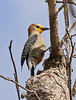 Another regional endemic: Yucatan Woodpecker (Photo by participant Charles Lowe)