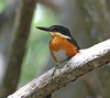 The Celestun area is an excellent one for a chance to see the delightful American Pygmy Kingfisher. (Photo by participant Charles Lowe)