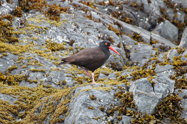 "This Black Oystercatcher does a pretty good job of blending in to its background. <div id=""caption_tourlink"" align=""right""><br>[photo © Chris Benesh]</div>"
