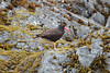 """This Black Oystercatcher does a pretty good job of blending in to its background. <div id=""""caption_tourlink"""" align=""""right""""><br>[photo © Chris Benesh]</div>"""