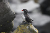 "St. Paul is home to a huge breeding population of Parakeet Auklets. <div id=""caption_tourlink"" align=""right""><br>[photo © Chris Benesh]</div>"